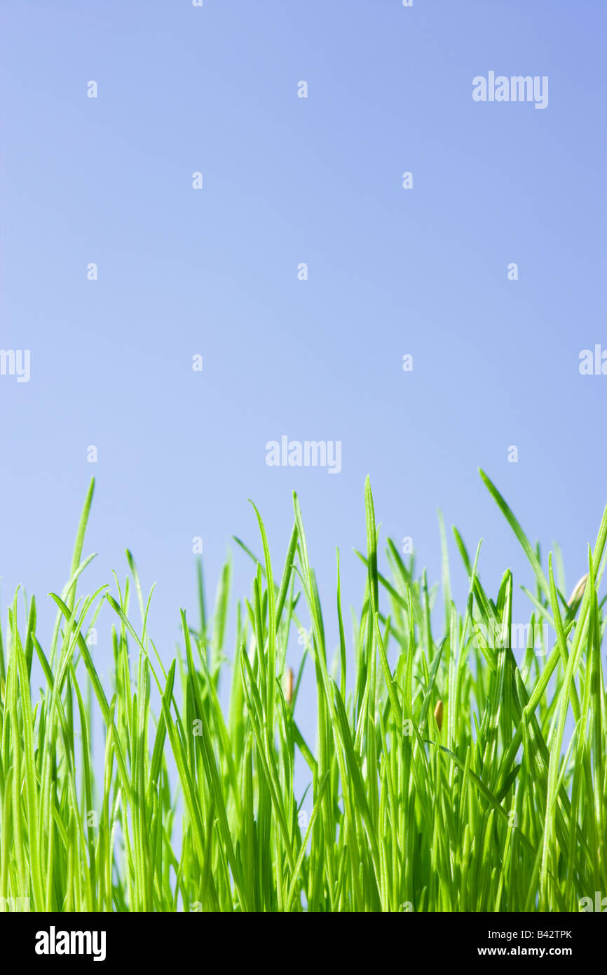Grass, low angle against blue sky. Stock Photo