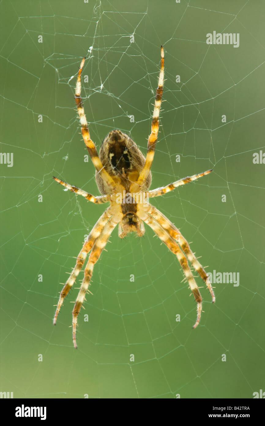 Garden spider (Diadem spider), Araneus diadematus, underside. Surrey, UK - Stock Image