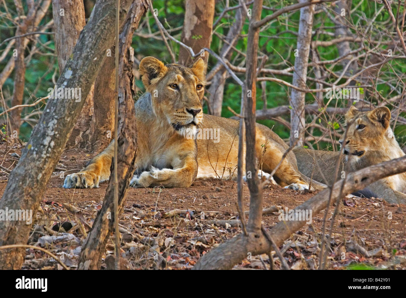 asiatic lion family - Stock Image