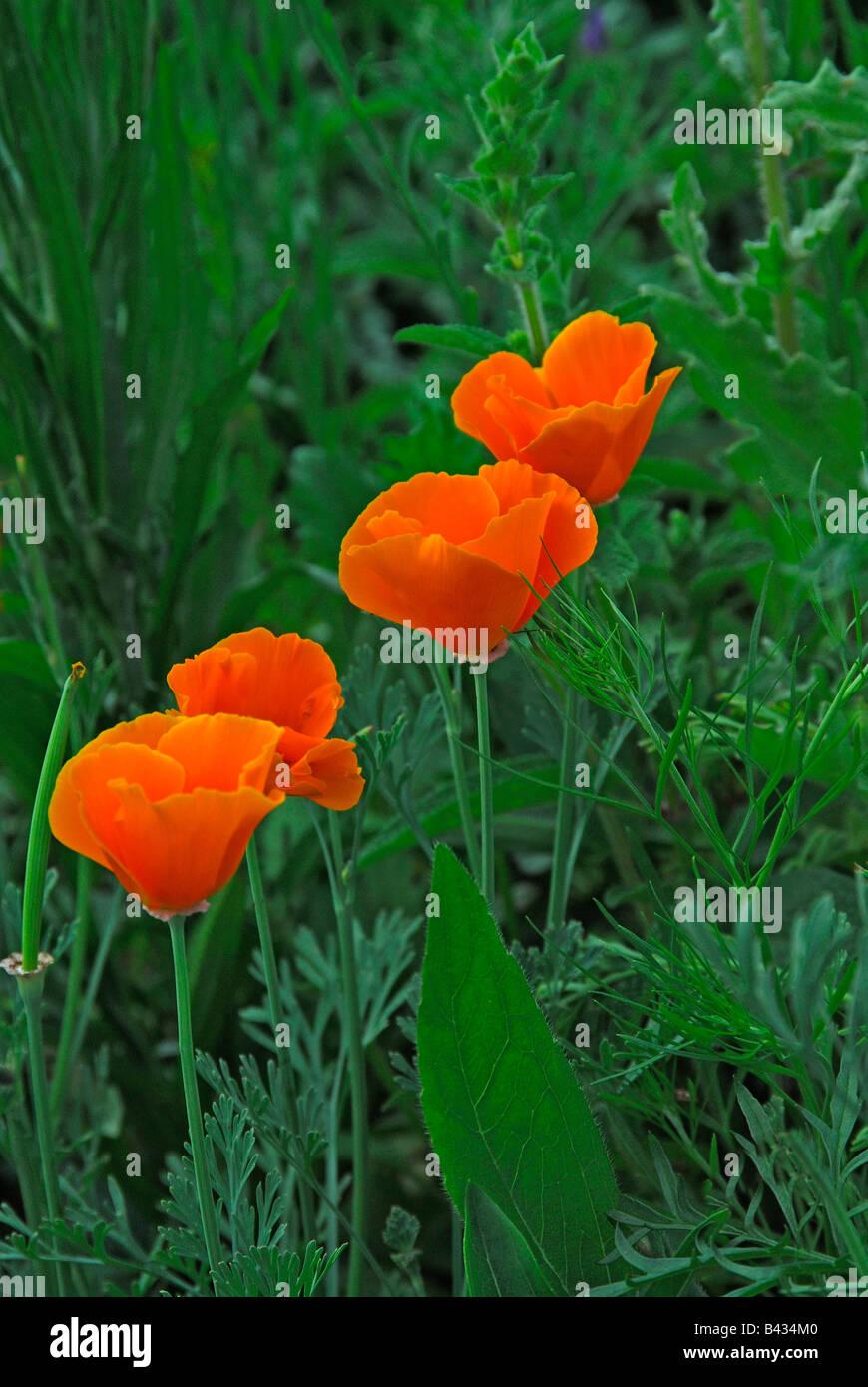 California Poppy (Eschscholzia californica), flowering - Stock Image