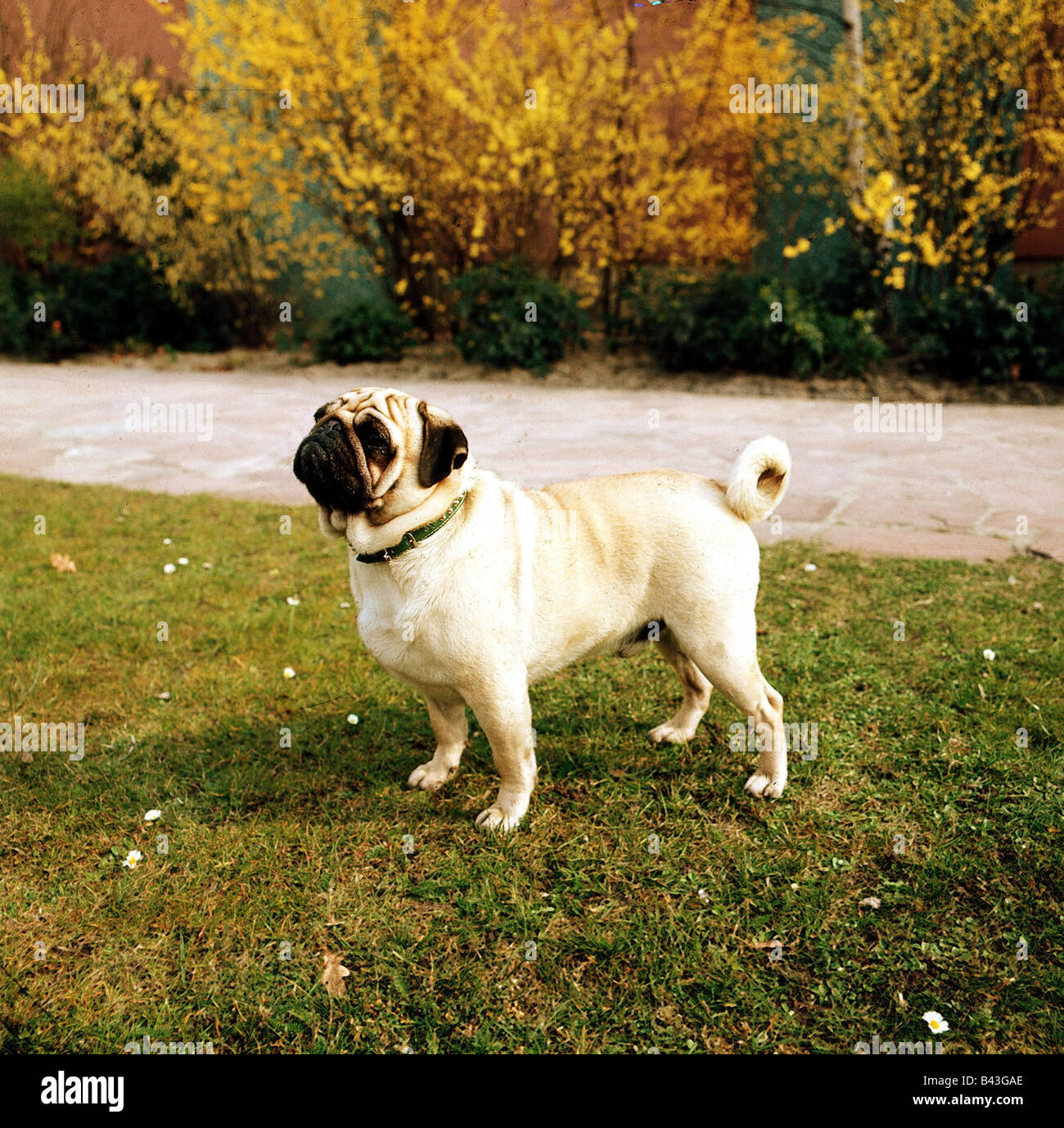 zoology / animals, mammal / mammalian, dogs, (Canis lupus , Additional-Rights-Clearance-Info-Not-Available - Stock Image