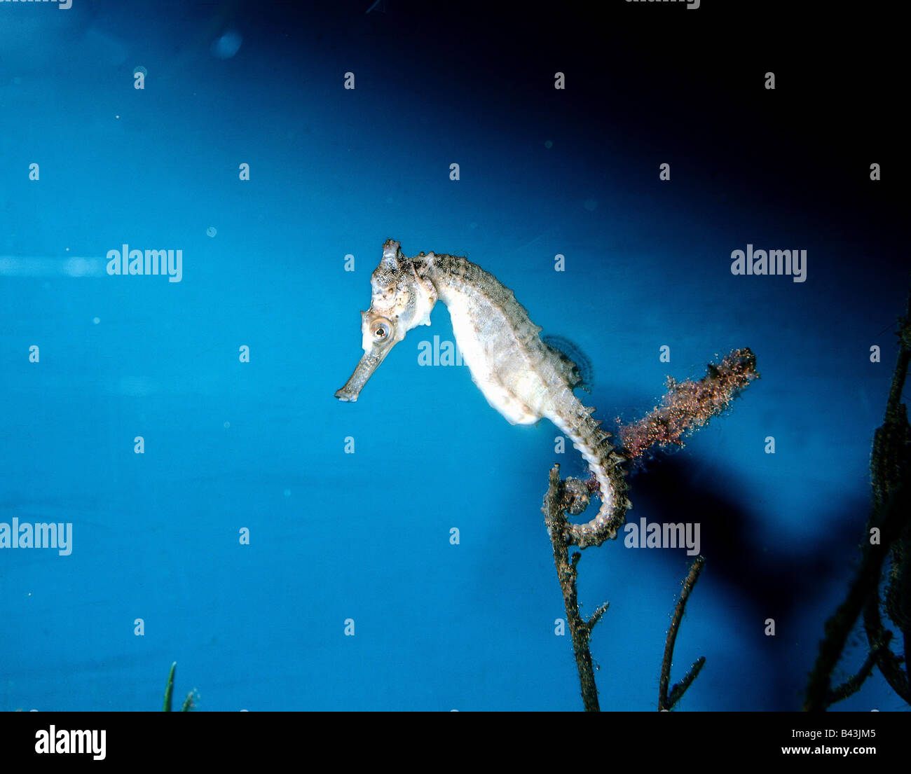 zoology / animals, fish, Seahorse, (Hippocampus whitei), Additional-Rights-Clearance-Info-Not-Available - Stock Image