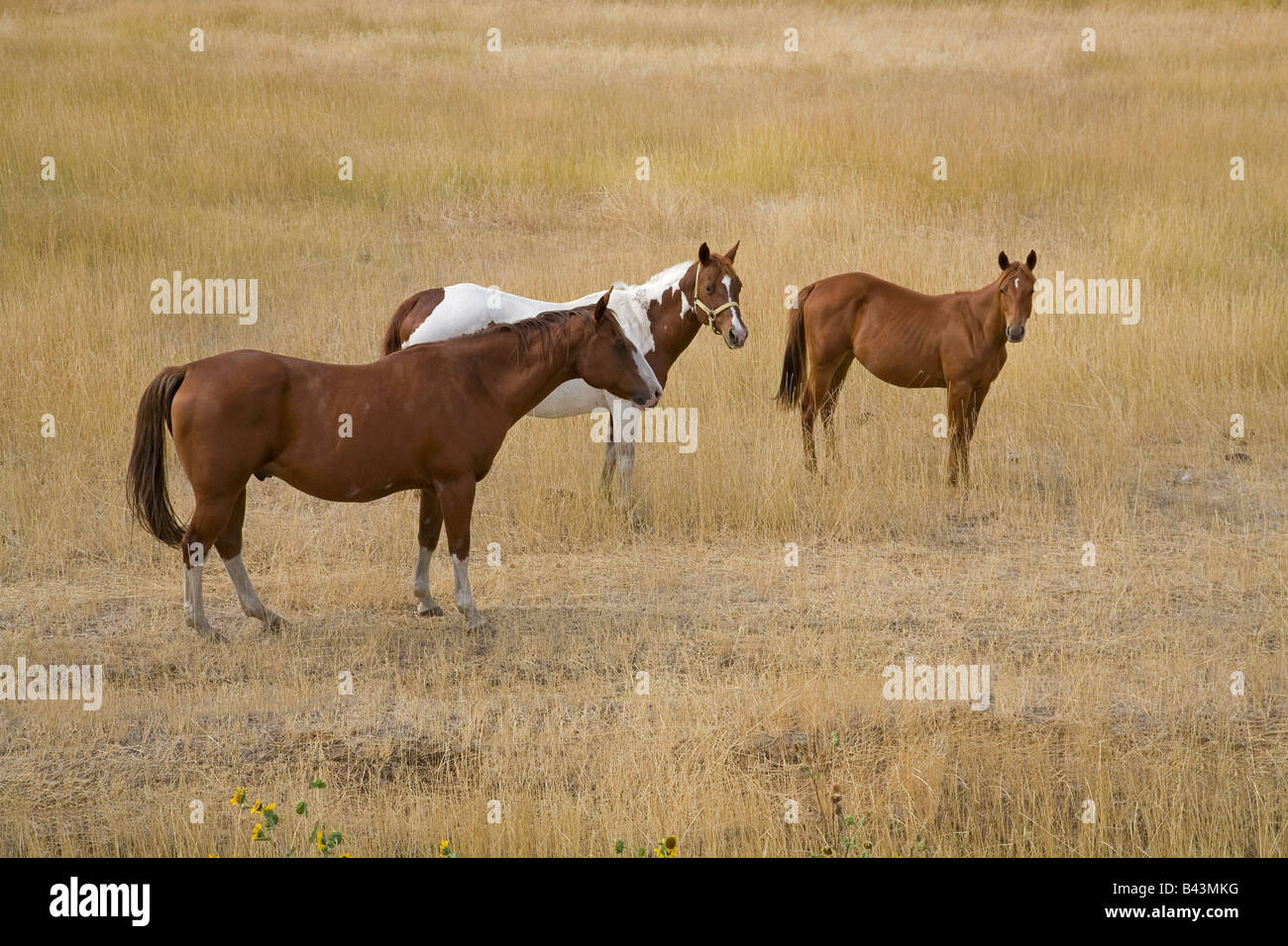 A paint horse and a bay horse with a colt graze in a dry pasture in the Blue Mountains of Oregon - Stock Image