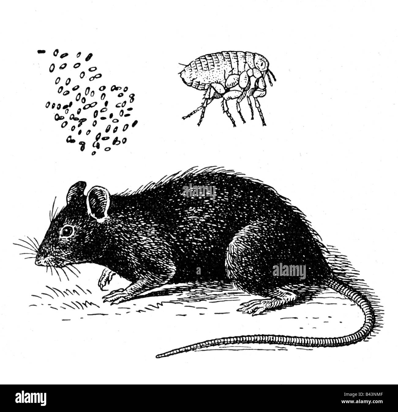 Rat Flea High Resolution Stock Photography And Images Alamy