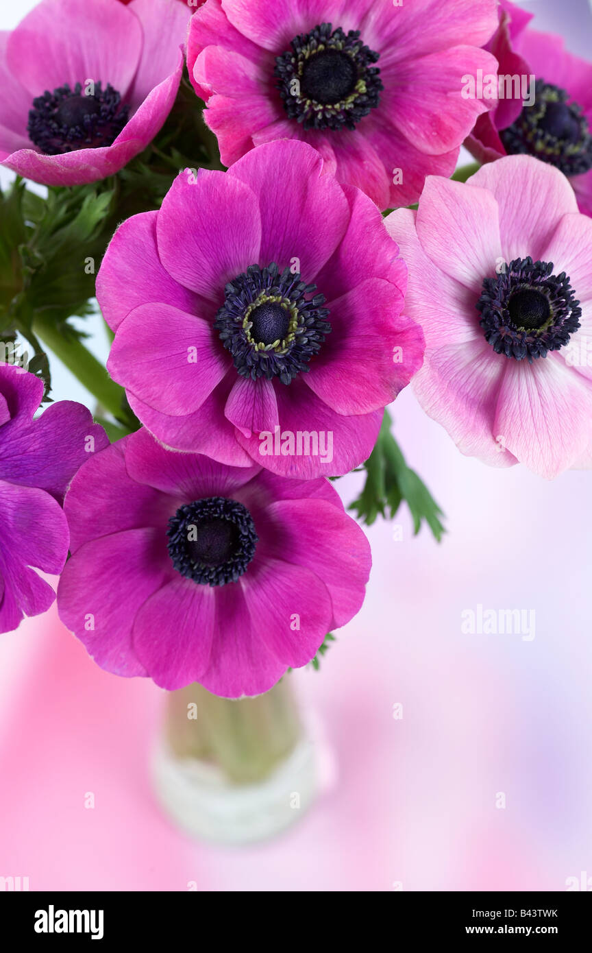 Close up purple and pink anemone flowers in small glass vase stock close up purple and pink anemone flowers in small glass vase mightylinksfo