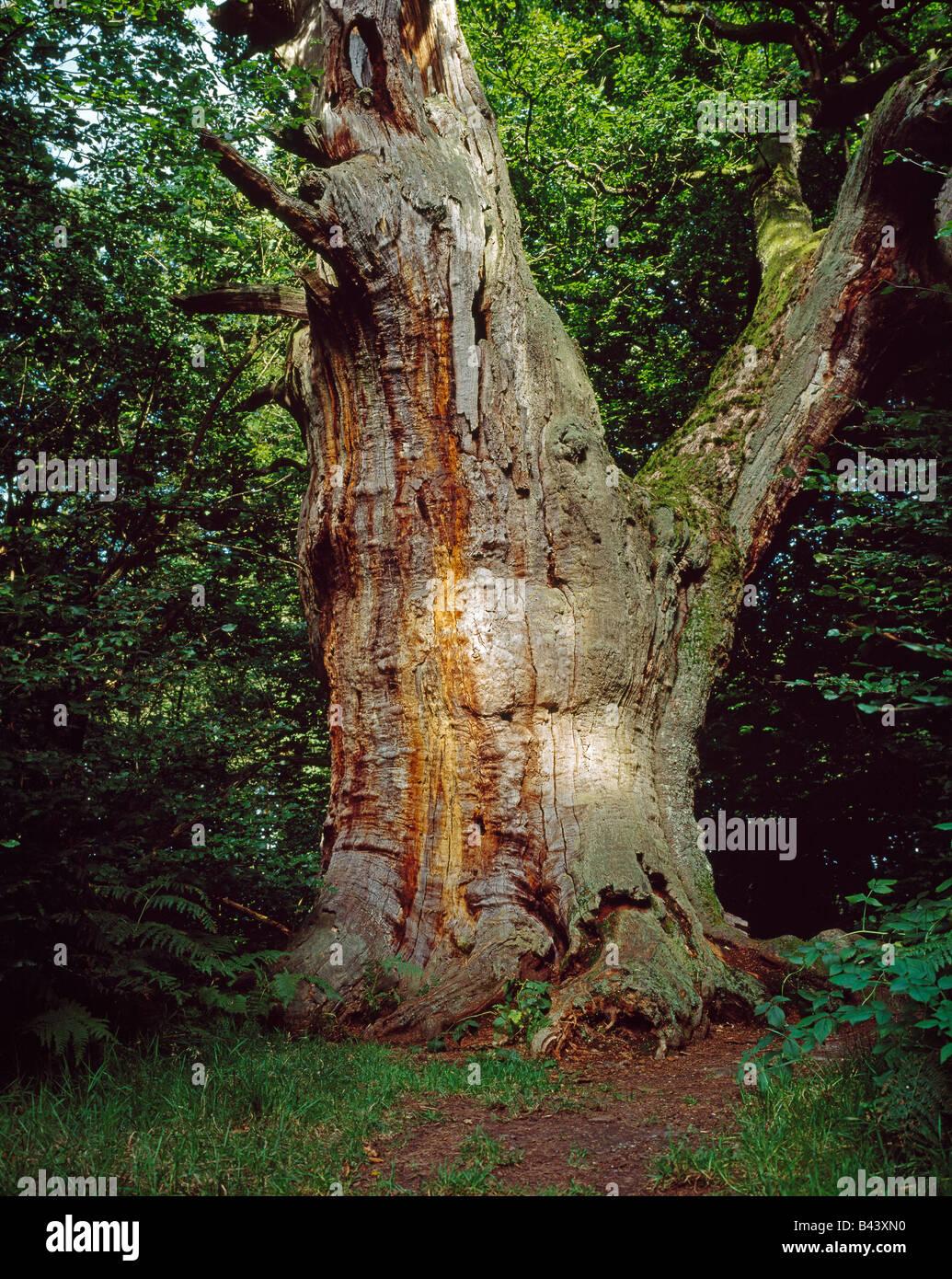 "old oak in the so called ""primary forest"" of Sababurg in the Reinhardswald alte Eiche im Urwald Sababurg - Stock Image"