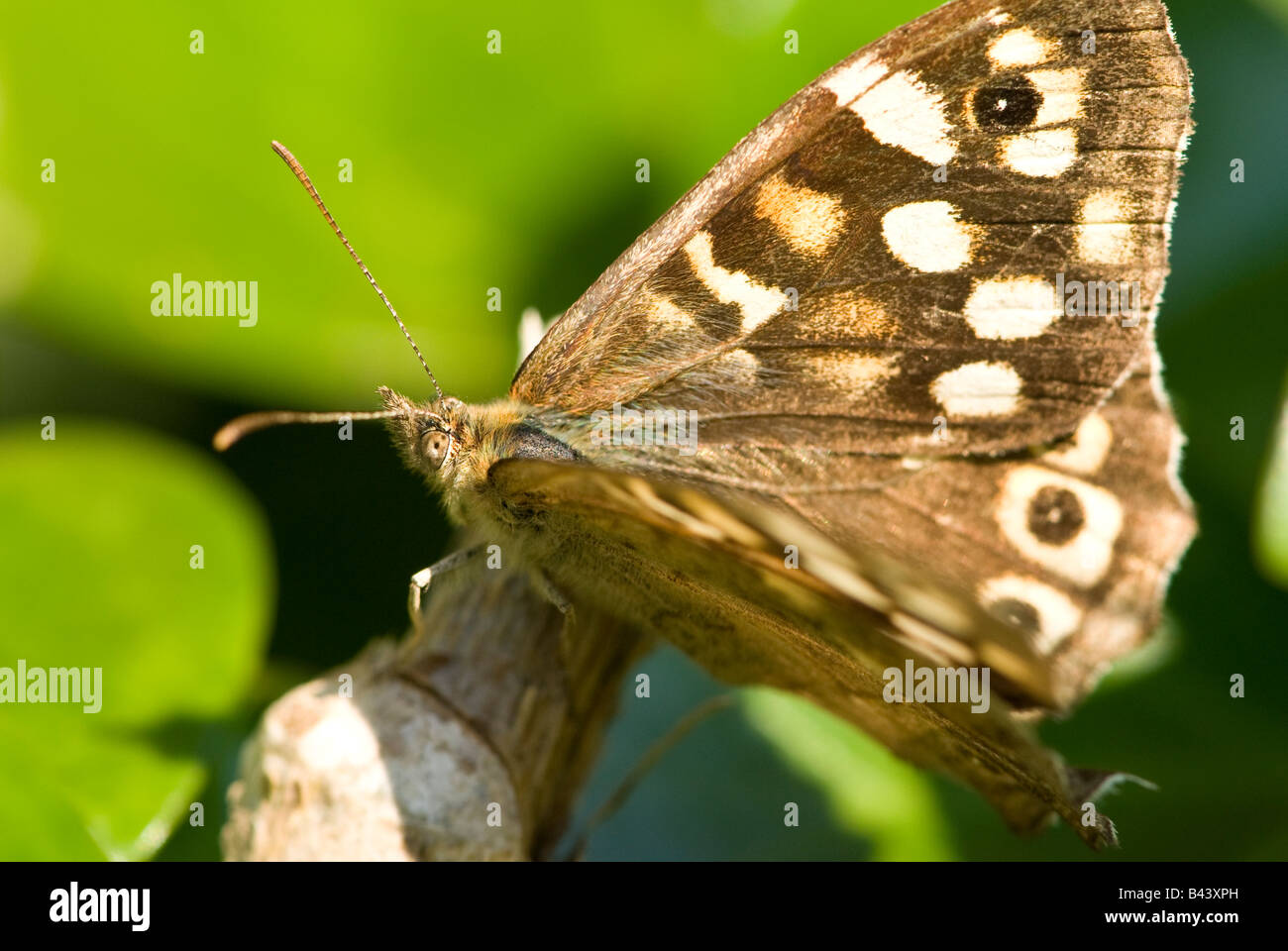 Speckled Wood Butterfly (Pararge aegeria). - Stock Image