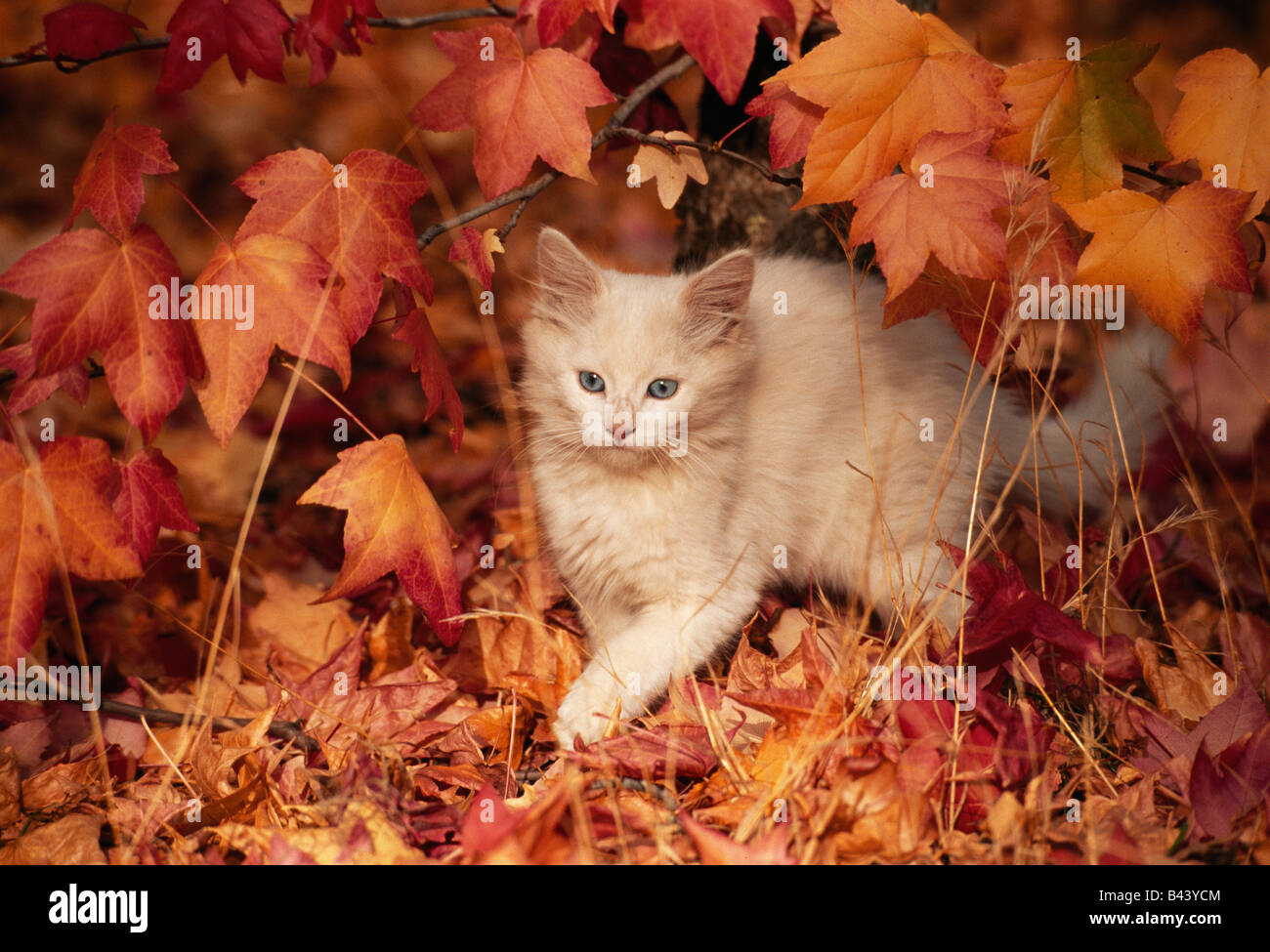 Juvenile kitten exploring in fall foliage. - Stock Image