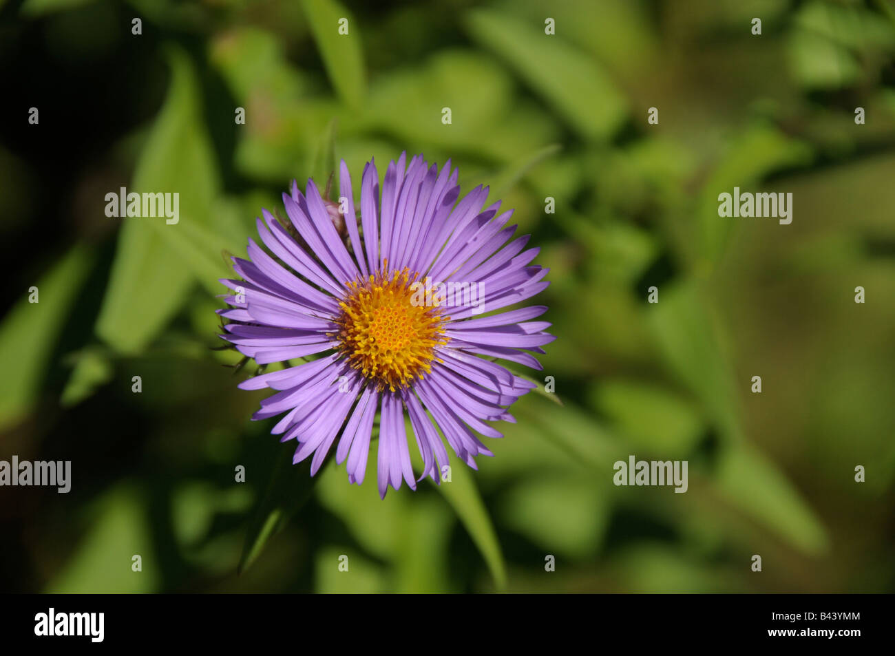 Blue Aster Flower Stock Photo 19756596 Alamy