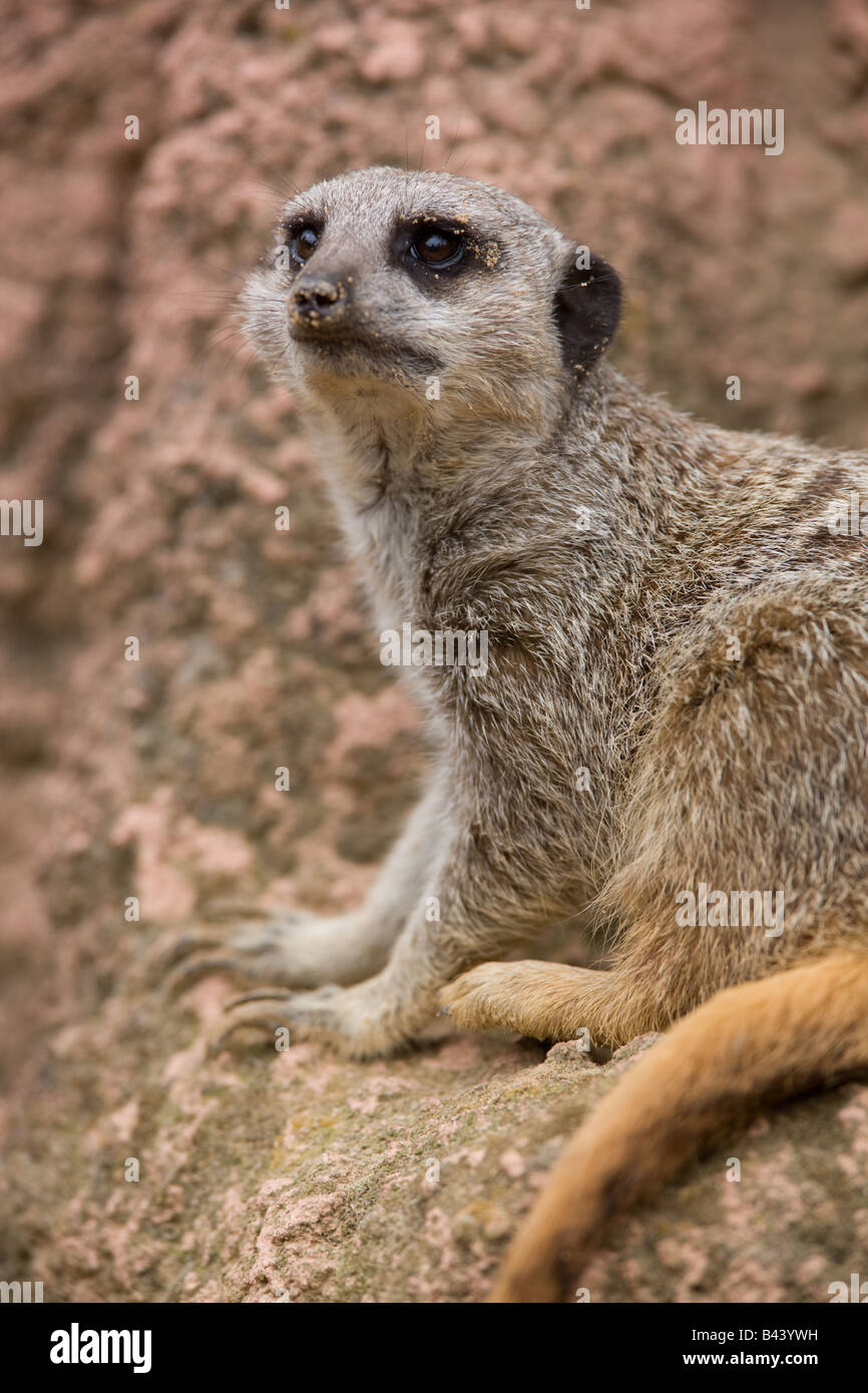 Earth male Meerkat looking for enemies - Suricata suricatta - Stock Image
