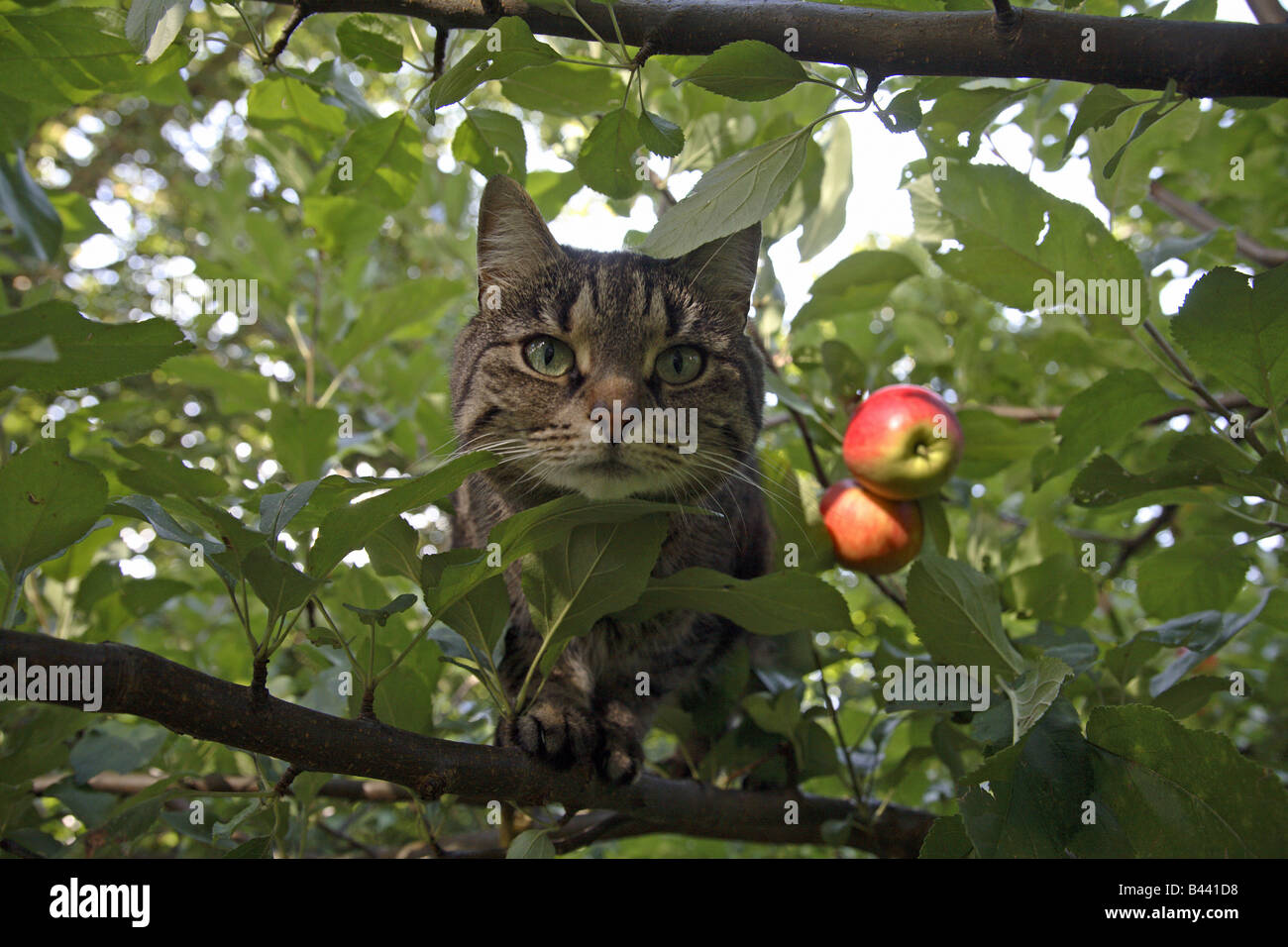 cat in an apple tree stock photo 19757956 alamy. Black Bedroom Furniture Sets. Home Design Ideas
