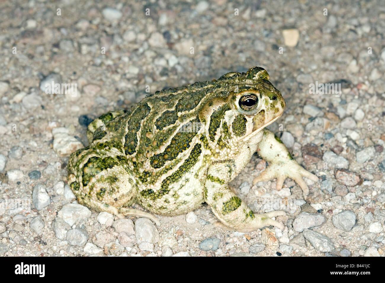 Great Plains Toad Bufo cognatus Tucson Pima County ARIZONA United States 18 August Adult Bufonidae - Stock Image