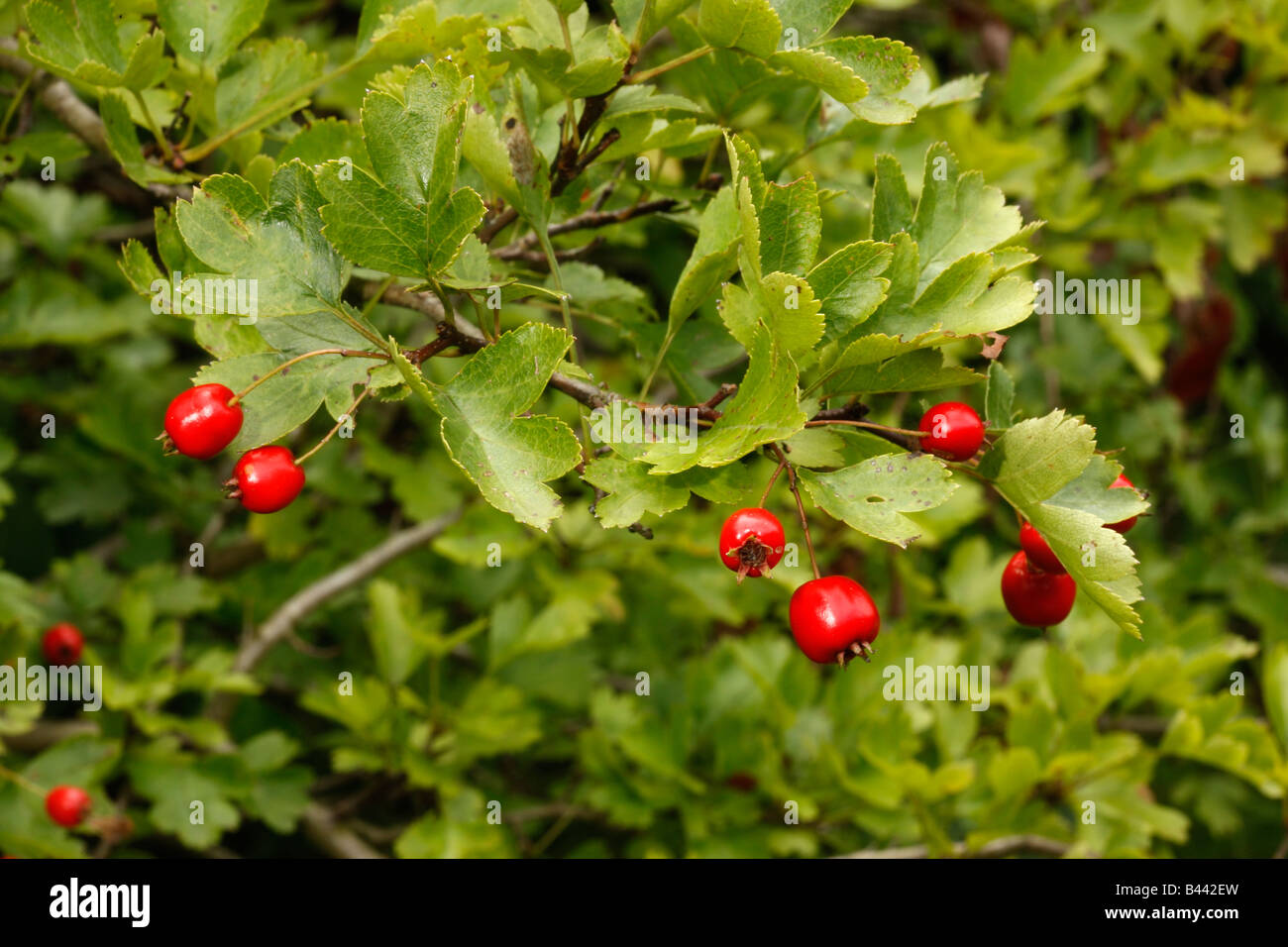Hawthorn tree or bush Crataegus monogyna berries Midlands UK - Stock Image