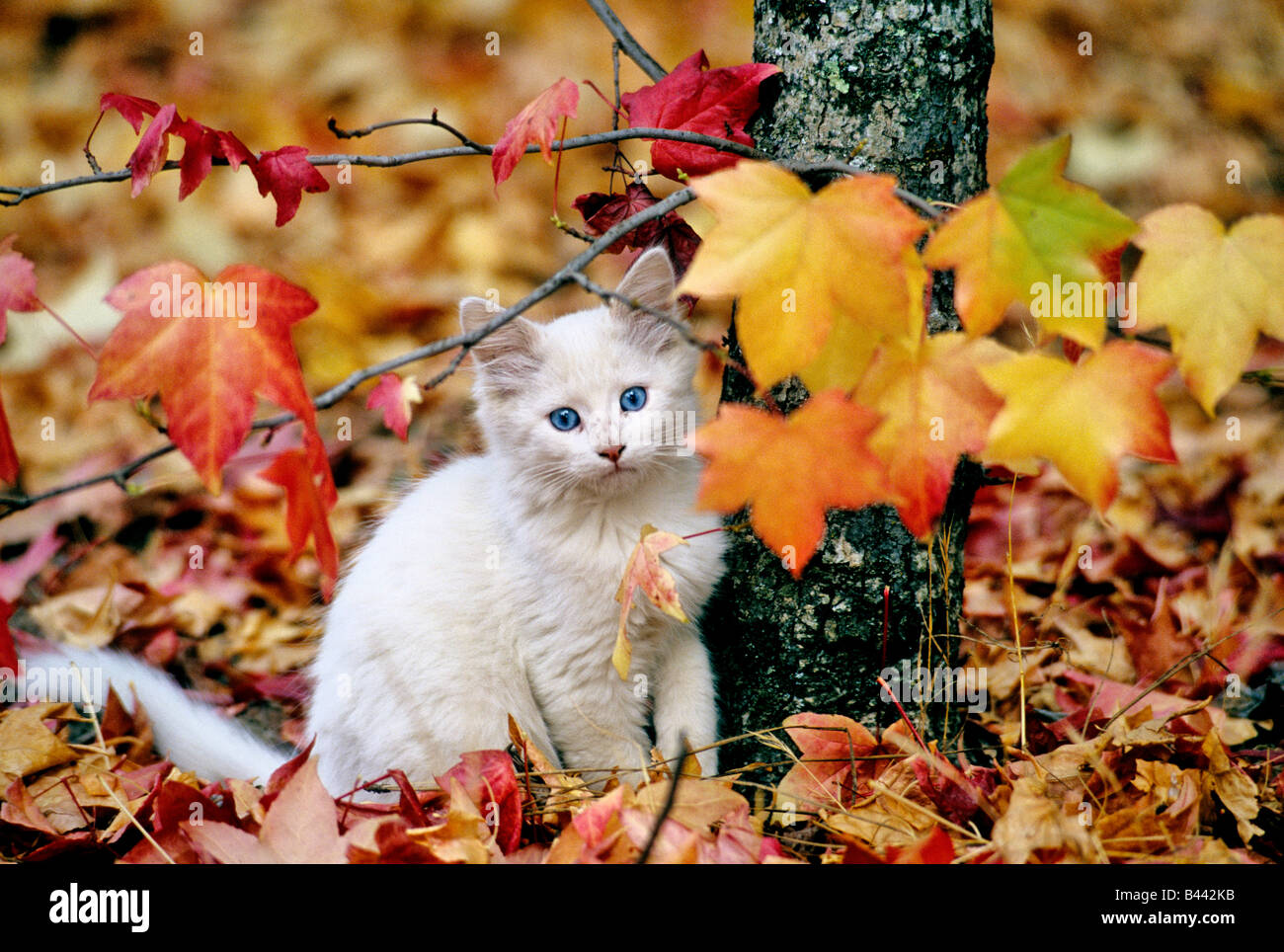 Juvenile kitten, colorful fall foliage. - Stock Image