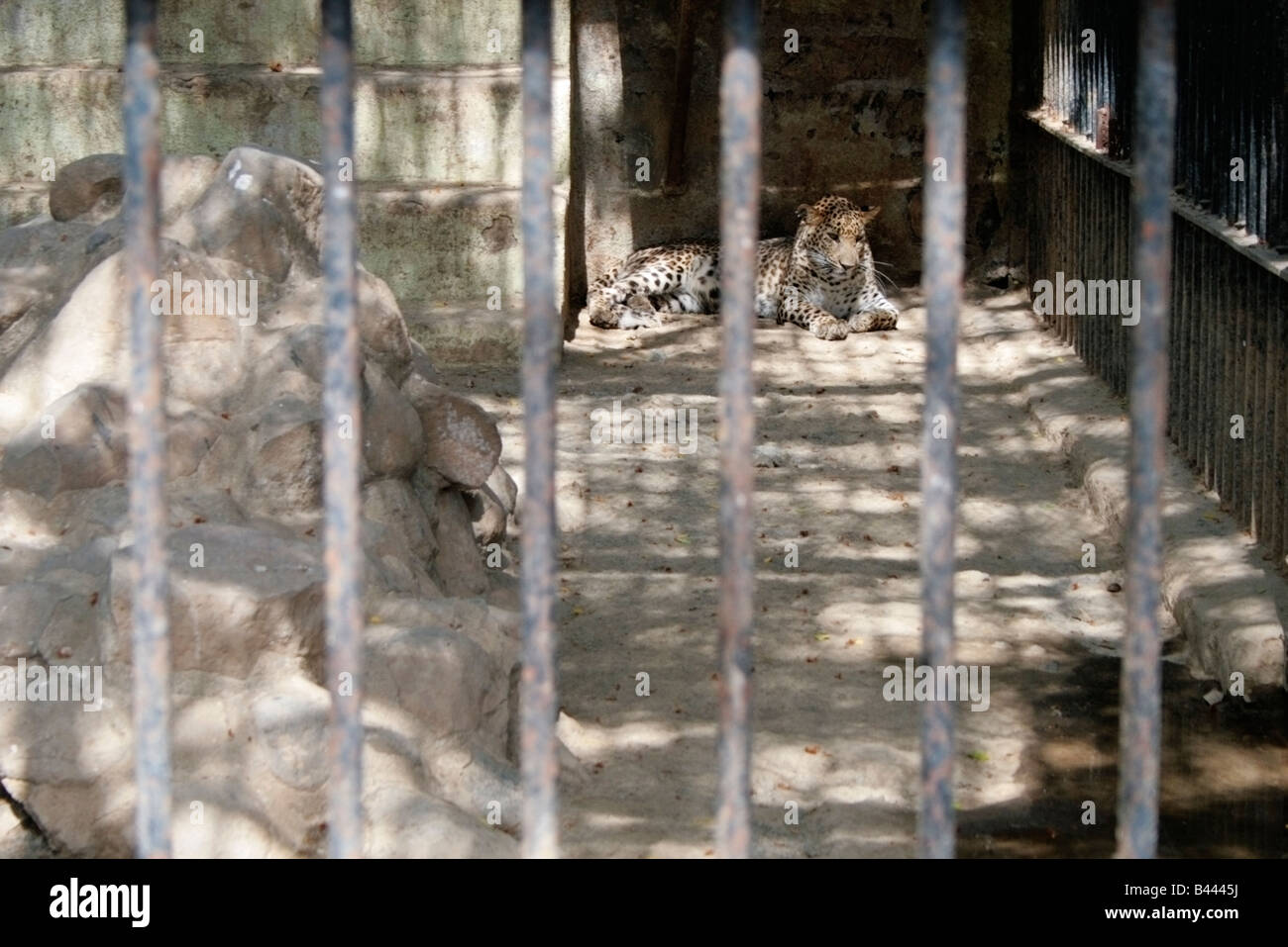 A leopard sits alone in a concrete enclosure in a zoo - Stock Image