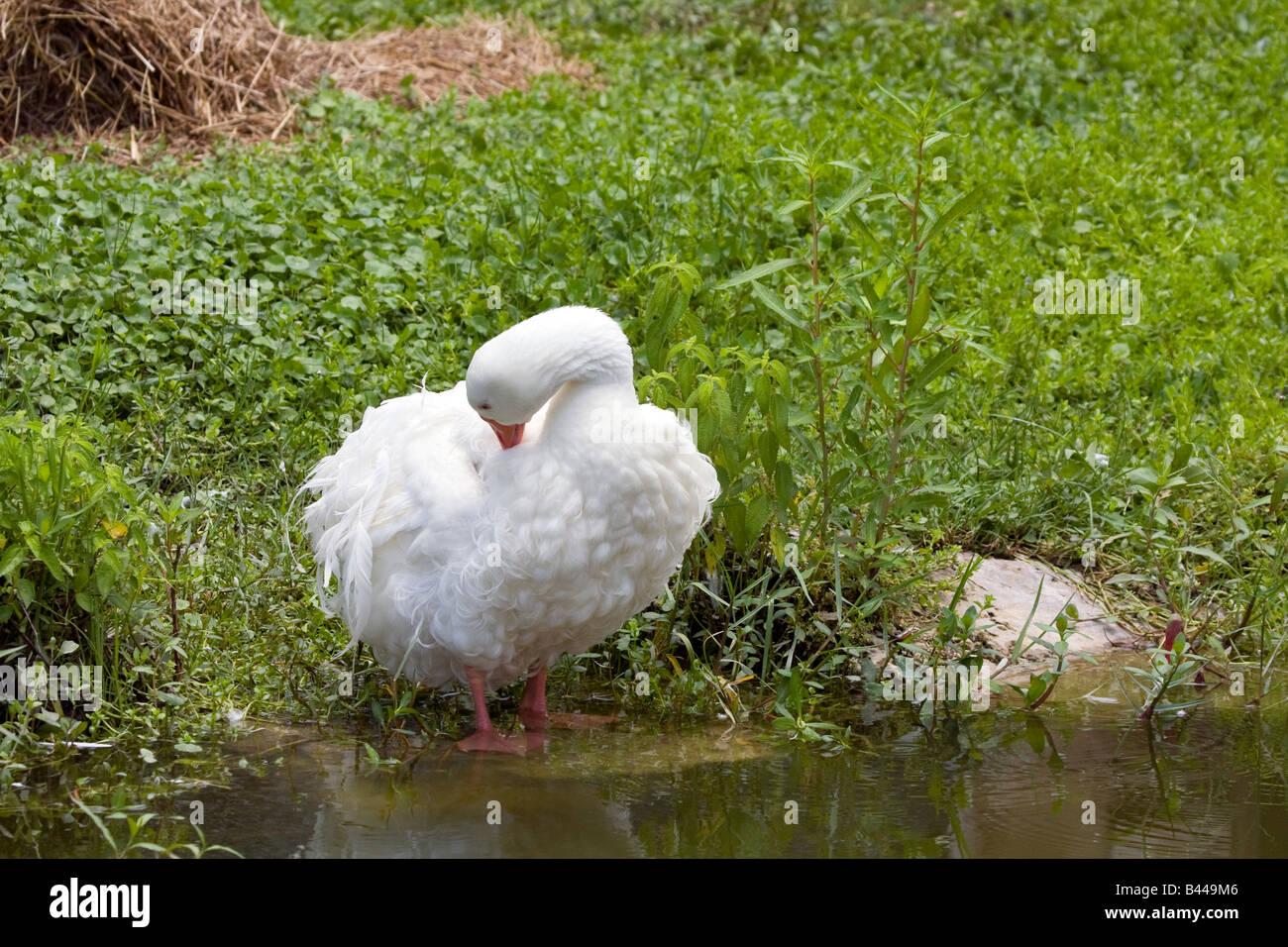 Sebastopol Goose preening beside pond - Stock Image