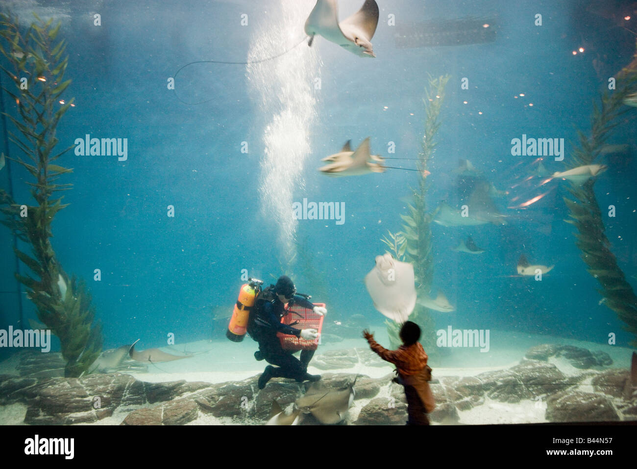 Boy watching Diver feeding stingrays in Aquarium - Stock Image