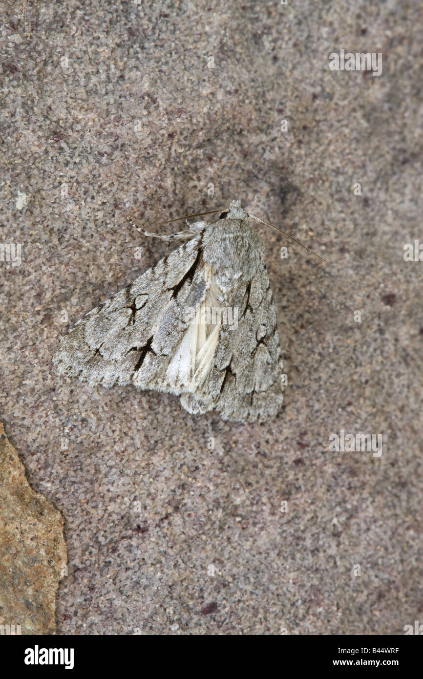Grey Dagger Acronicta psi adult moth at rest on a limestone wall - Stock Image
