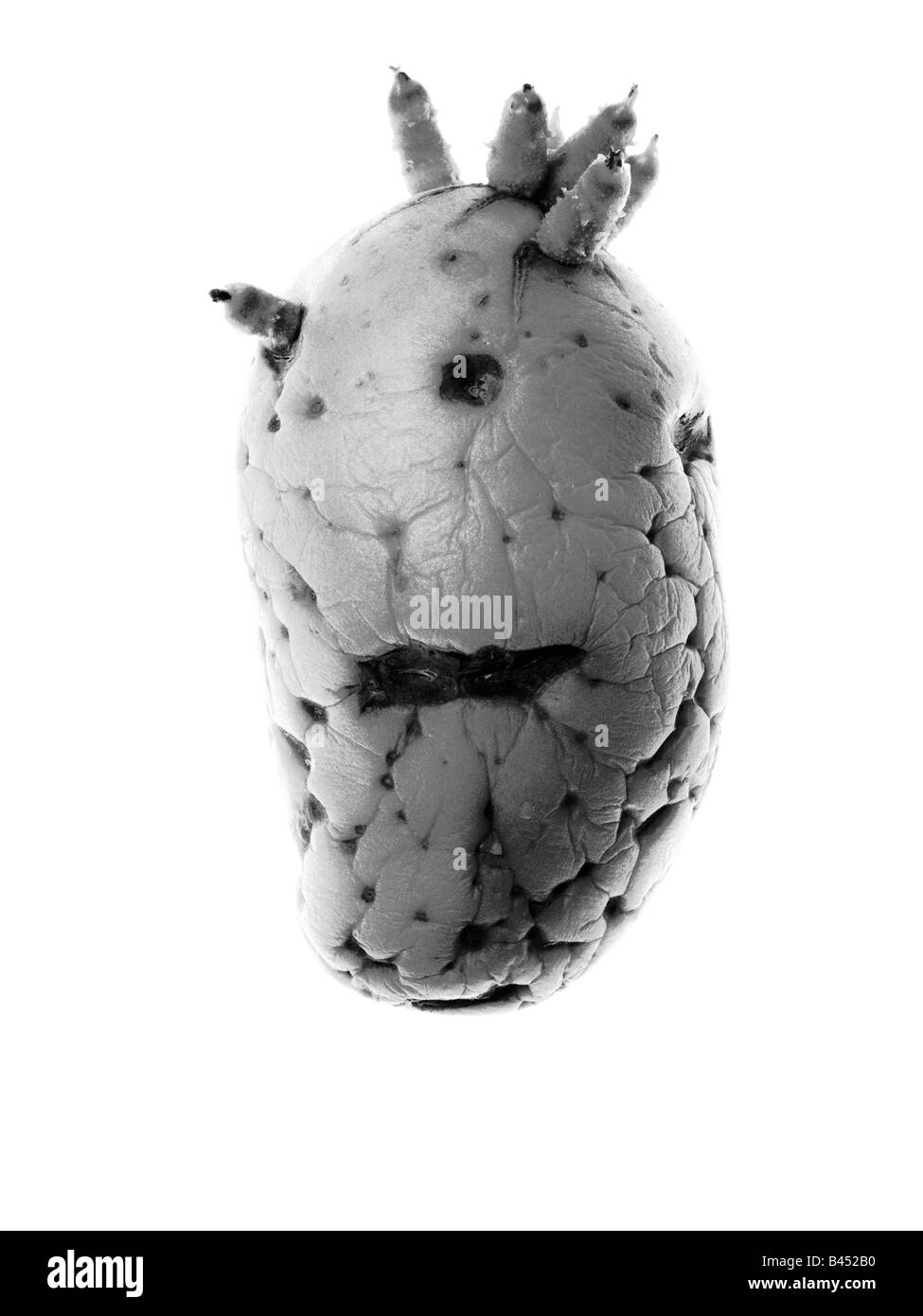 Old sprouting Potato face - Stock Image