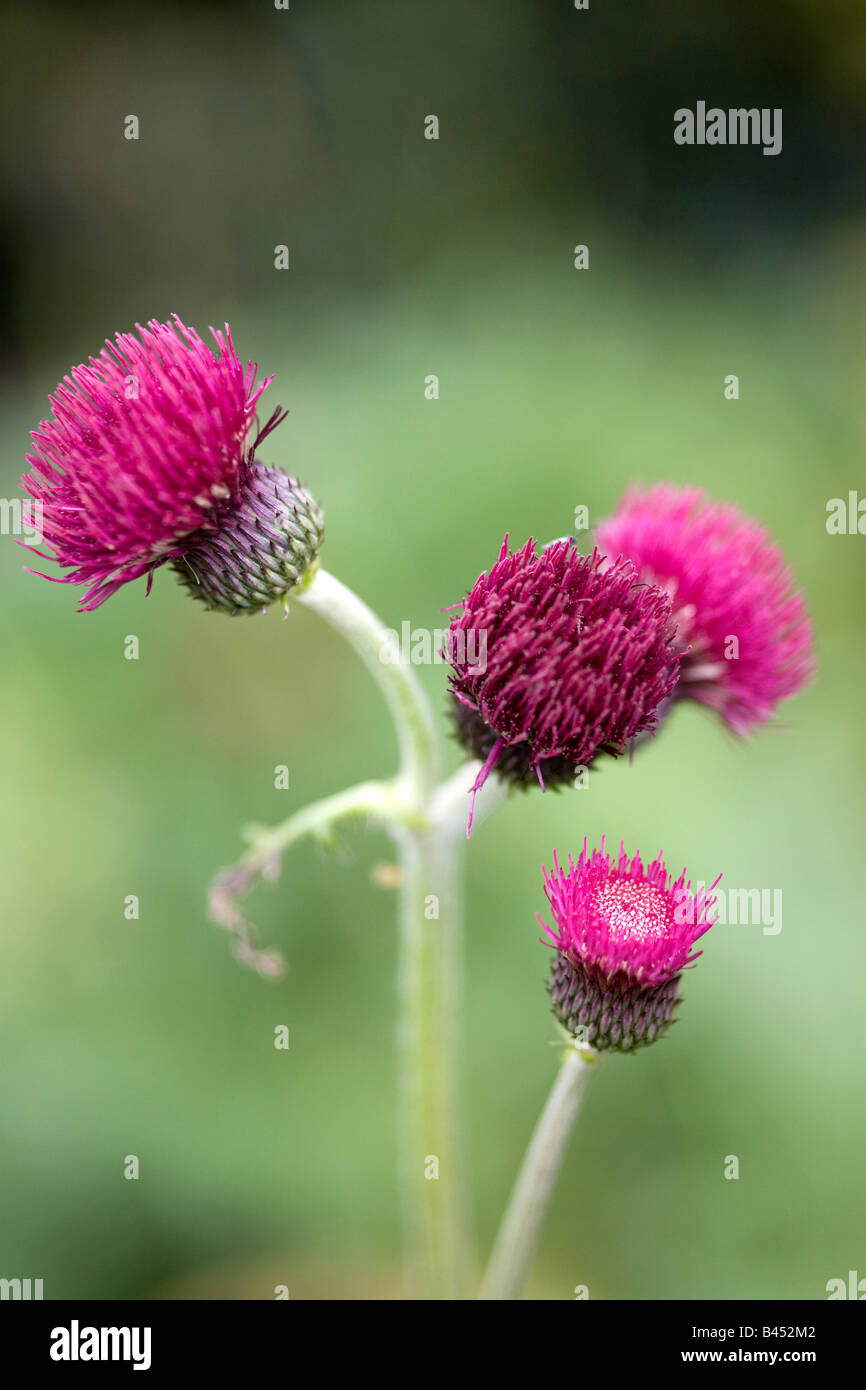 Cirsium Rivulare Purpurea or Brook Thistle - Stock Image