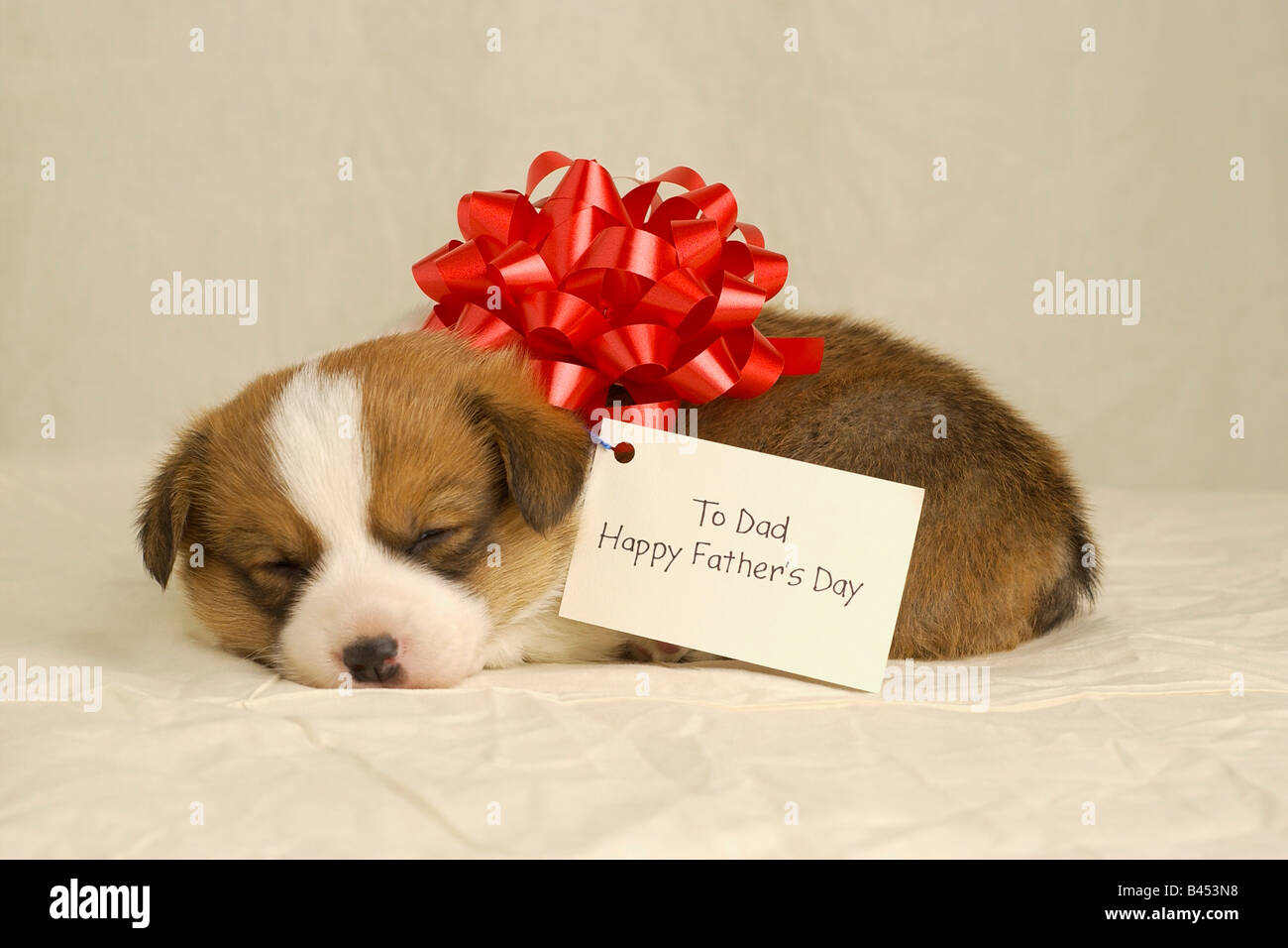 Puppy wearing a red bow - Stock Image