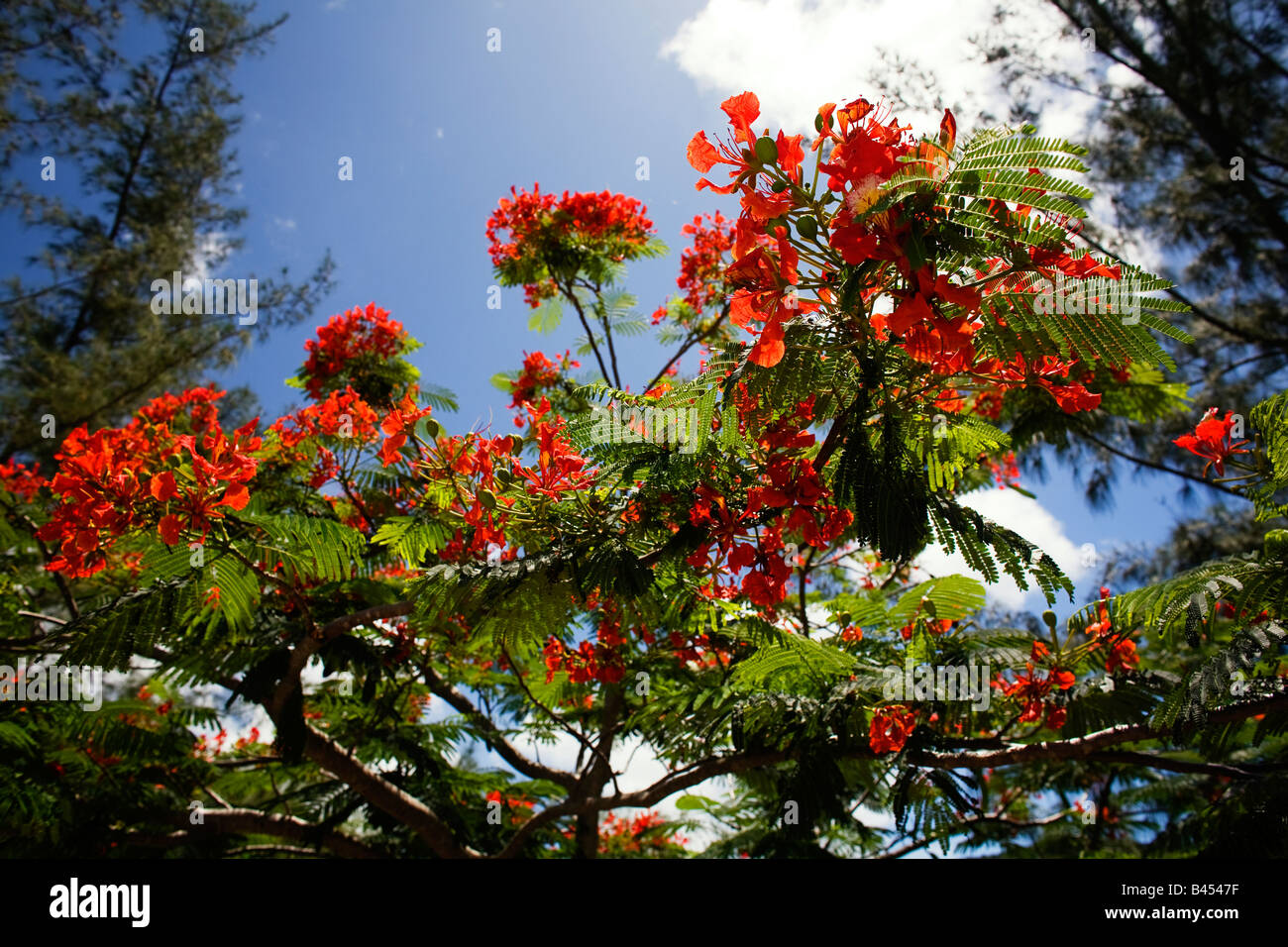 Blossom from the Flamboyant tree against a blue sky in Antigua - Stock Image