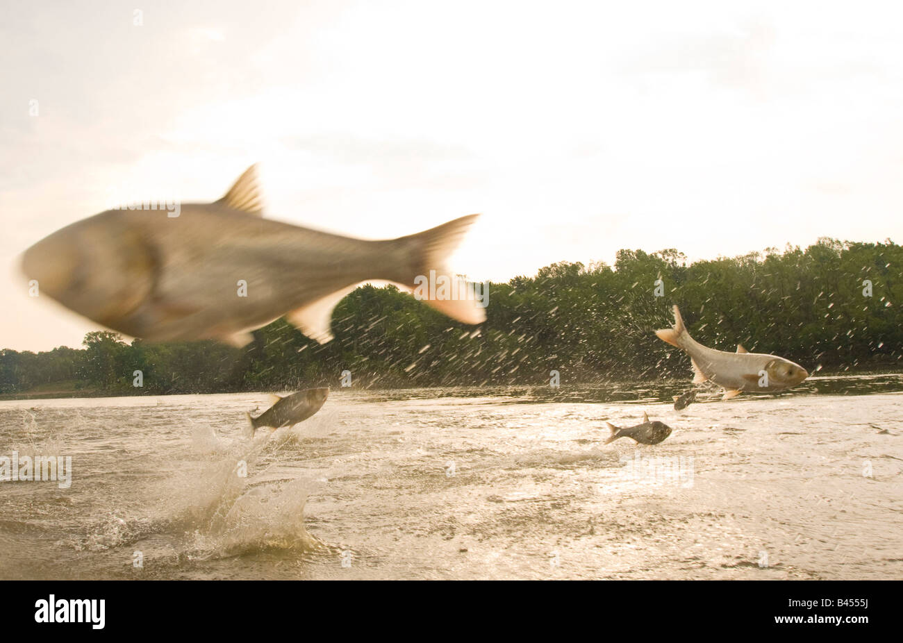 Two species of Asian carp the bighead and silver jumping out of the Illinois River near Havana Illinois Stock Photo