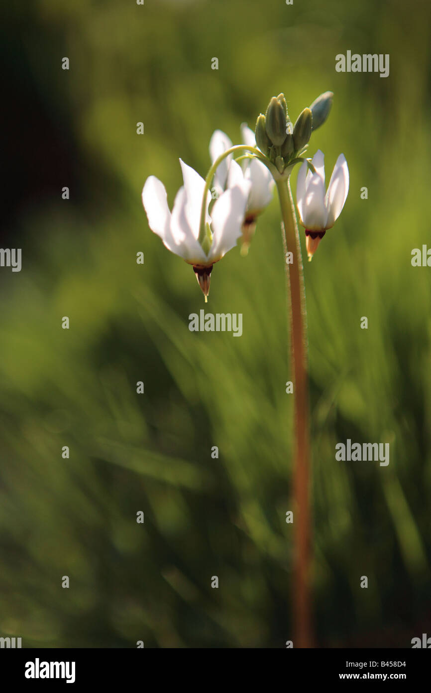 SHOOTING STAR DODECATHEON MEADIA IN NORTHERN ILLINOIS PRAIRIE IN SPRING - Stock Image