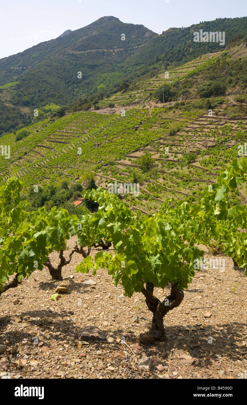 Winegrowing on terraces at Collioure in the back country of the mediterranean Cote Vermeille / Southern France - Stock Image