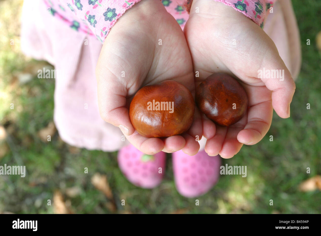 Hands holding Conkers - Stock Image