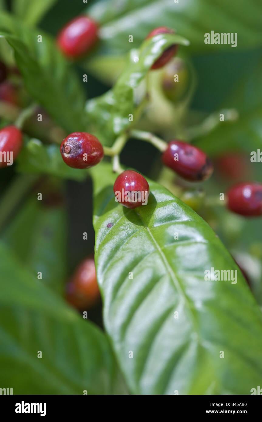 Shiny leaved Wild coffee with fruit Psychotria nervosa Rubiaceae family - Stock Image