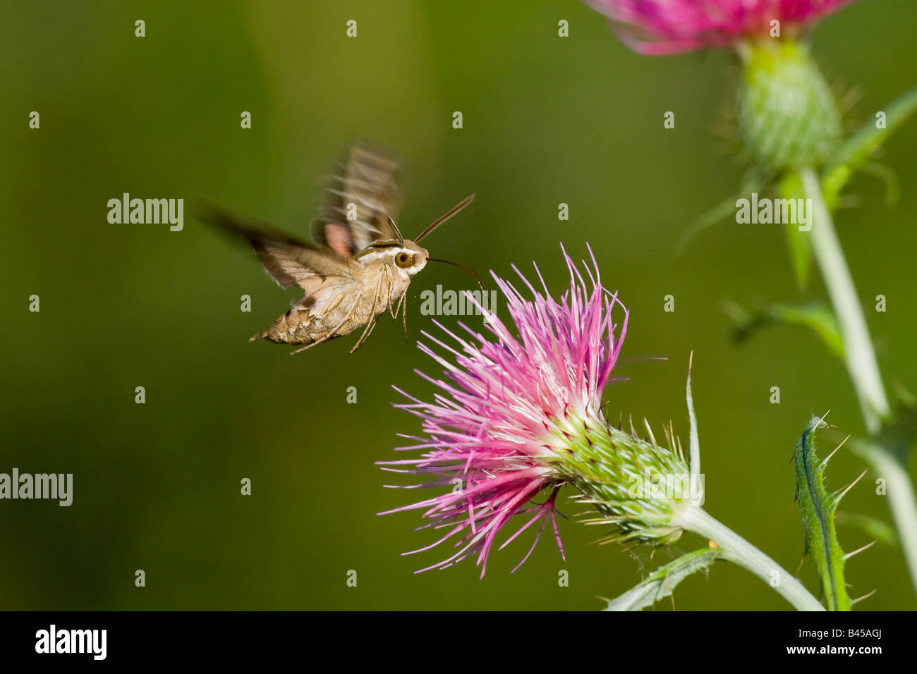 White-lined Sphinx Moth Hyles lineata - Stock Image