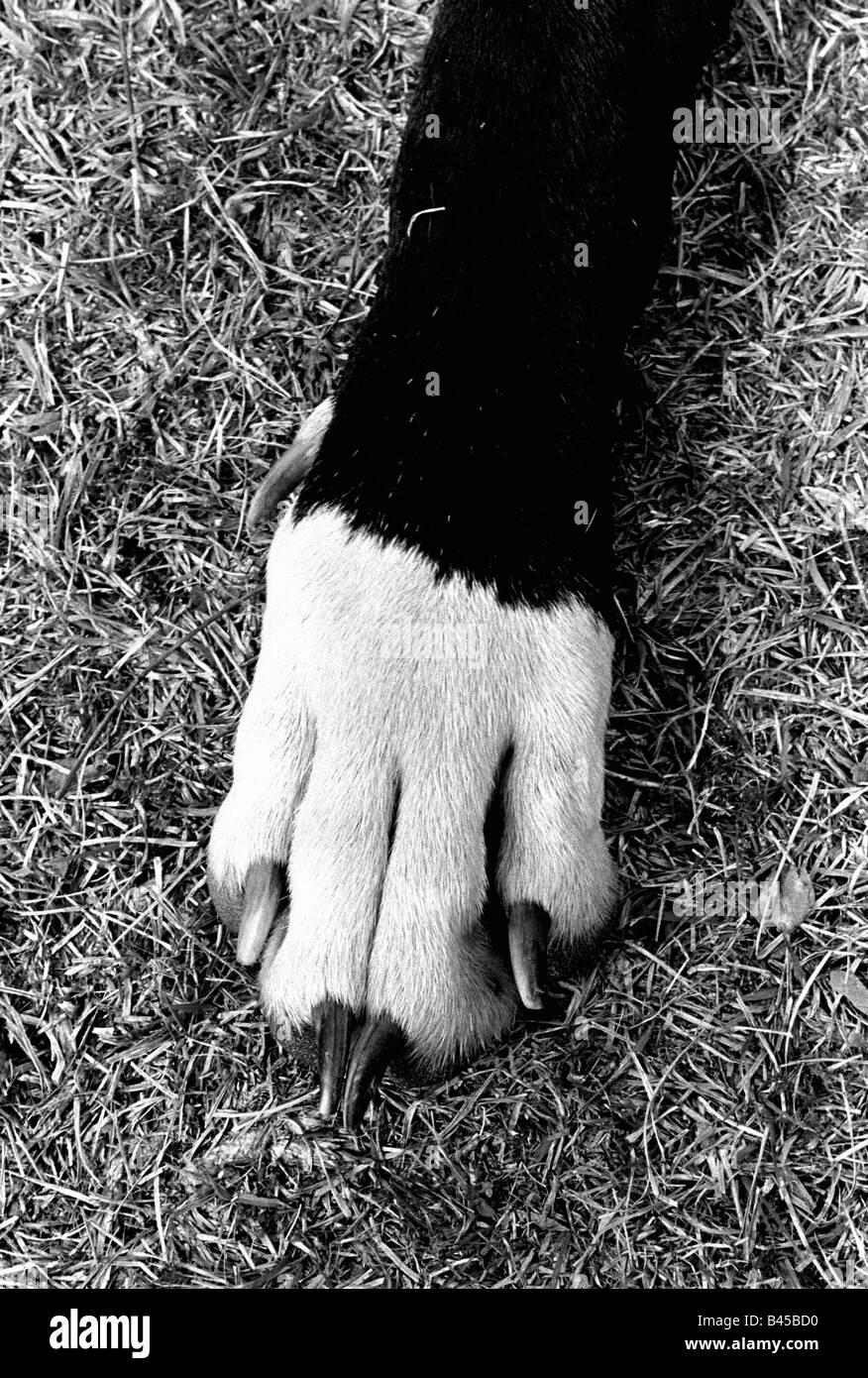 The paw of a great dane in the grass. - Stock Image