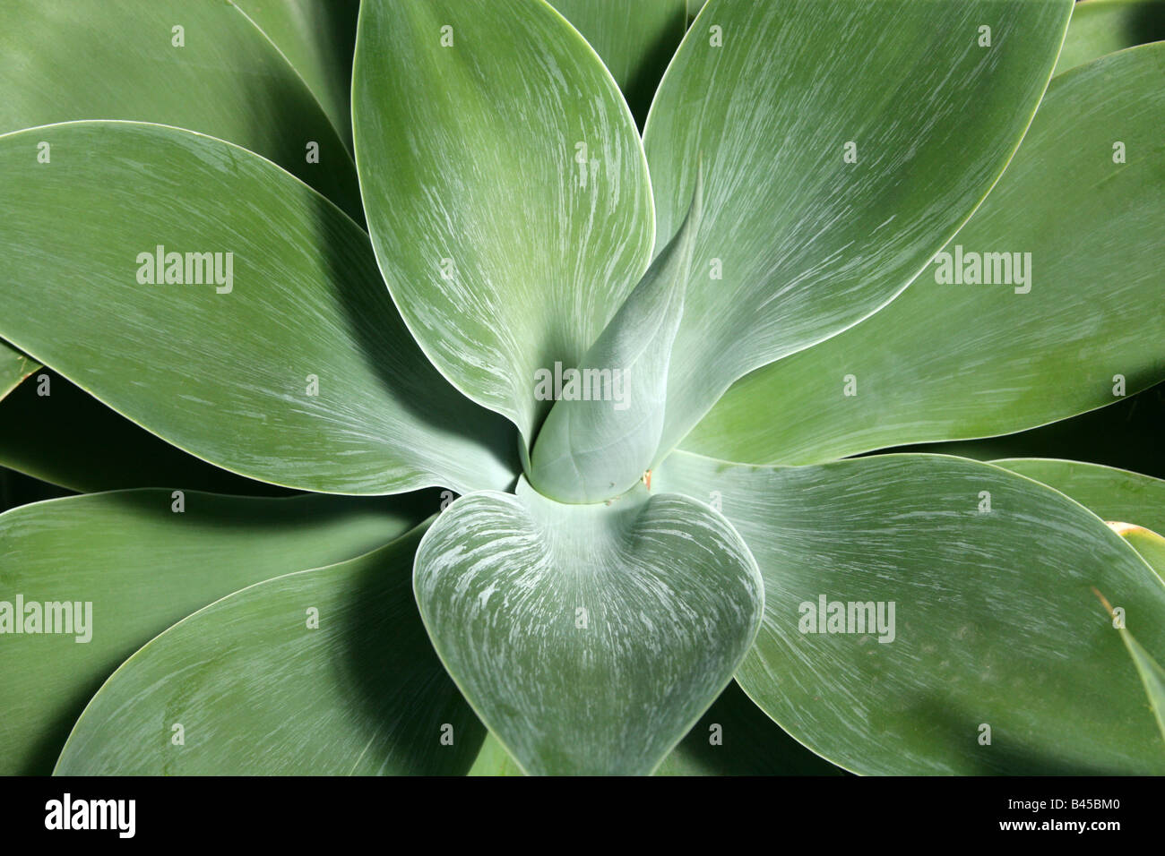 Lion's Tail aka Swan's Neck or Foxtail, Agave attenuata, Agavaceae, Mexico - Stock Image