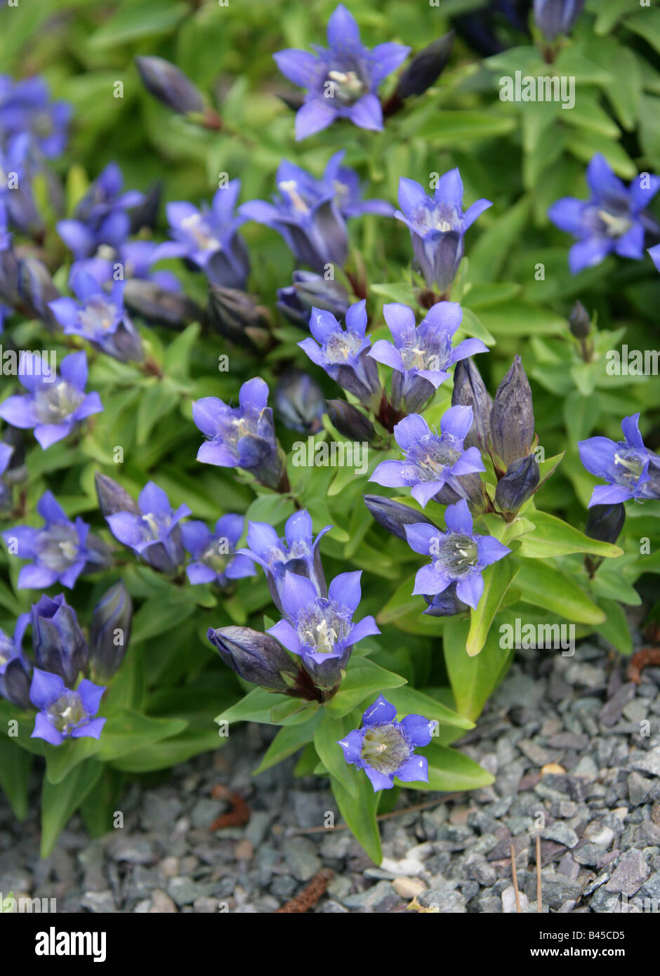 Pleated Gentian or Rocky Mountain Gentian, Gentiana affinis, Gentianaceae, North America USA - Stock Image