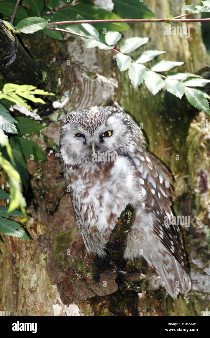zoology / animals, avian / bird, Strigidae, Tengmalm's Owl (Aegolius funereus), sitting on branch, Bavarian - Stock Image