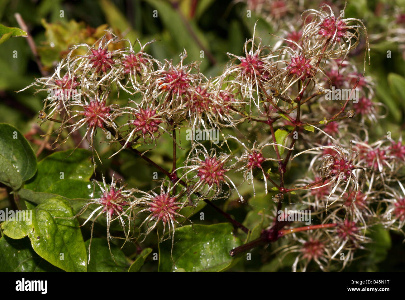 botany, Clematis, 'Clematis vitalba', infructescence, Leitha mountains, Austria, Additional-Rights-Clearance - Stock Image
