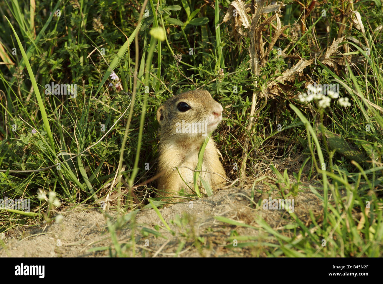 zoology / animals, mammal / mammalian, Sciuridae, European ground squirrel (Spermophilus citellus), looking out - Stock Image