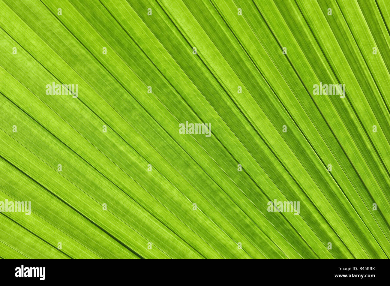 palm frond - Stock Image