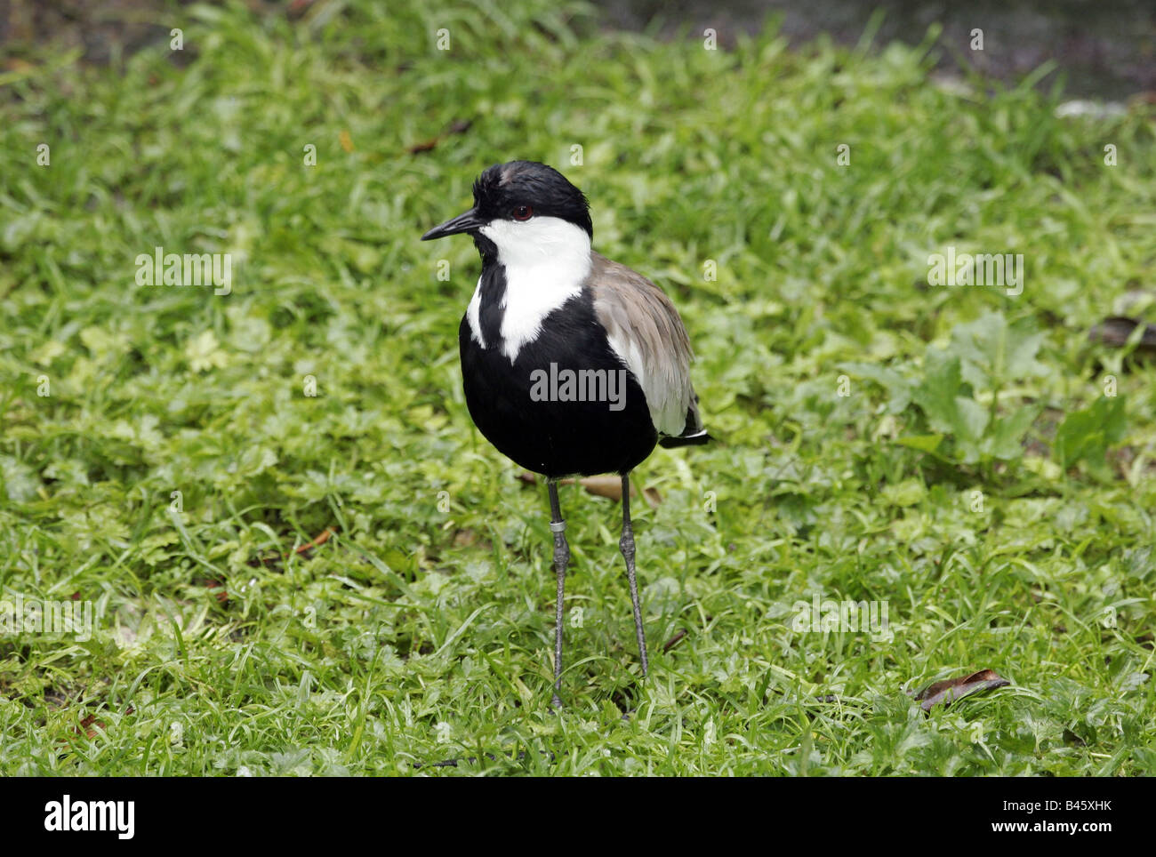 zoology / animals, avian / birds, Spur-winged Plover (Vanellus spinosus), standing in grass, distribution: Europe, - Stock Image