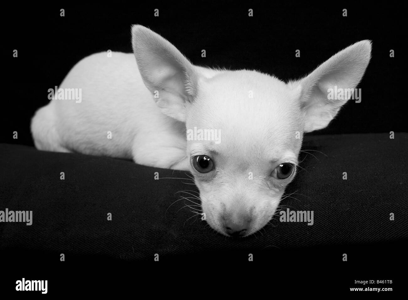Cute cream color shorthaired Chihuahua puppy in monotone on black background - Stock Image