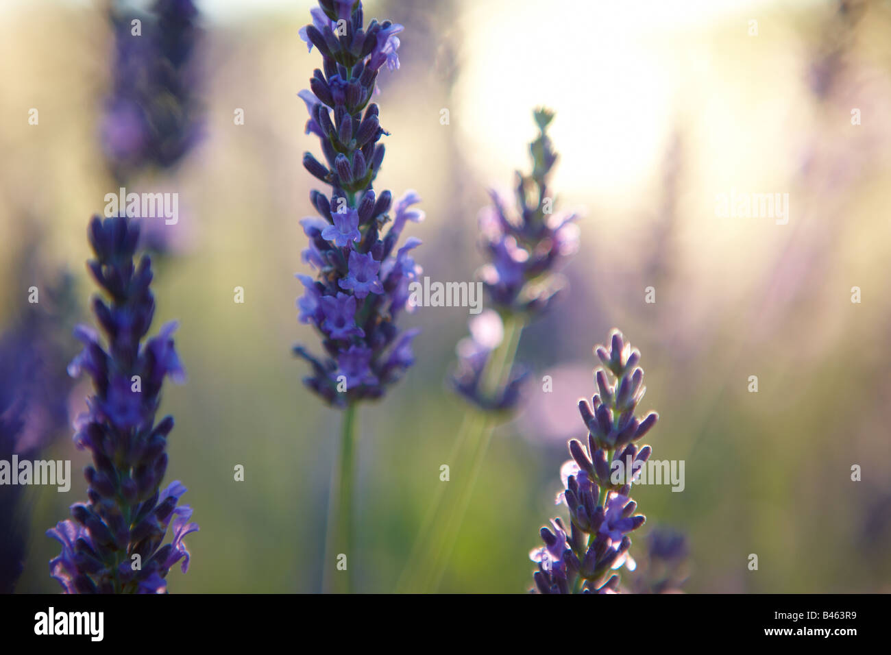 lavender, Provence, France - Stock Image