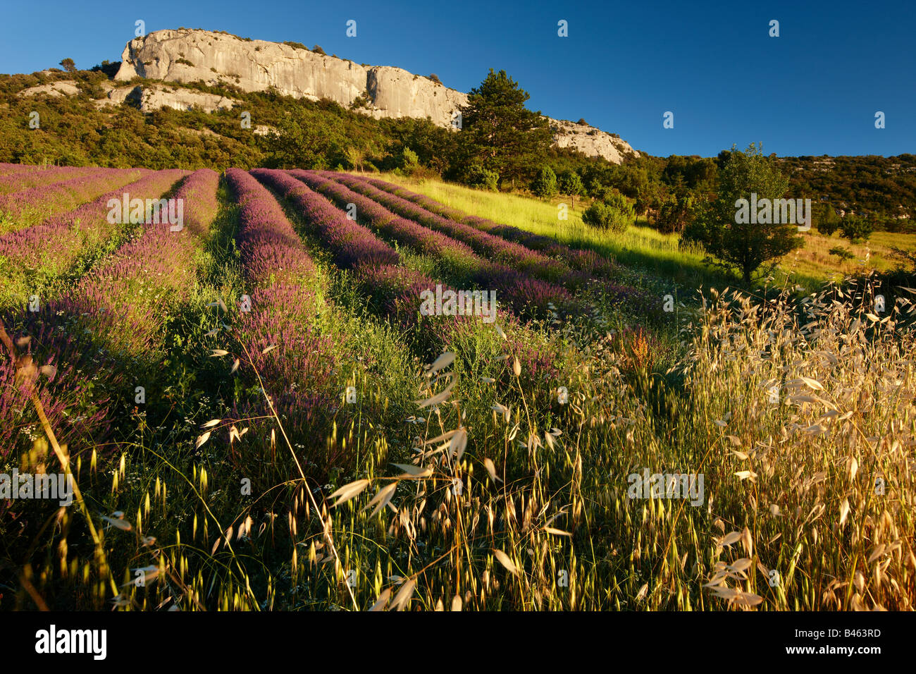 rows of lavender in a field near St-Saturnin-les-Apt, the Vaucluse, Provence, France - Stock Image