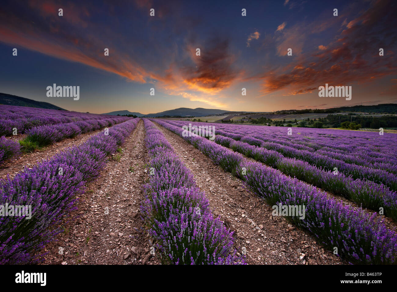 dawn in a lavender field nr Sault, the Vaucluse, Provence, France - Stock Image