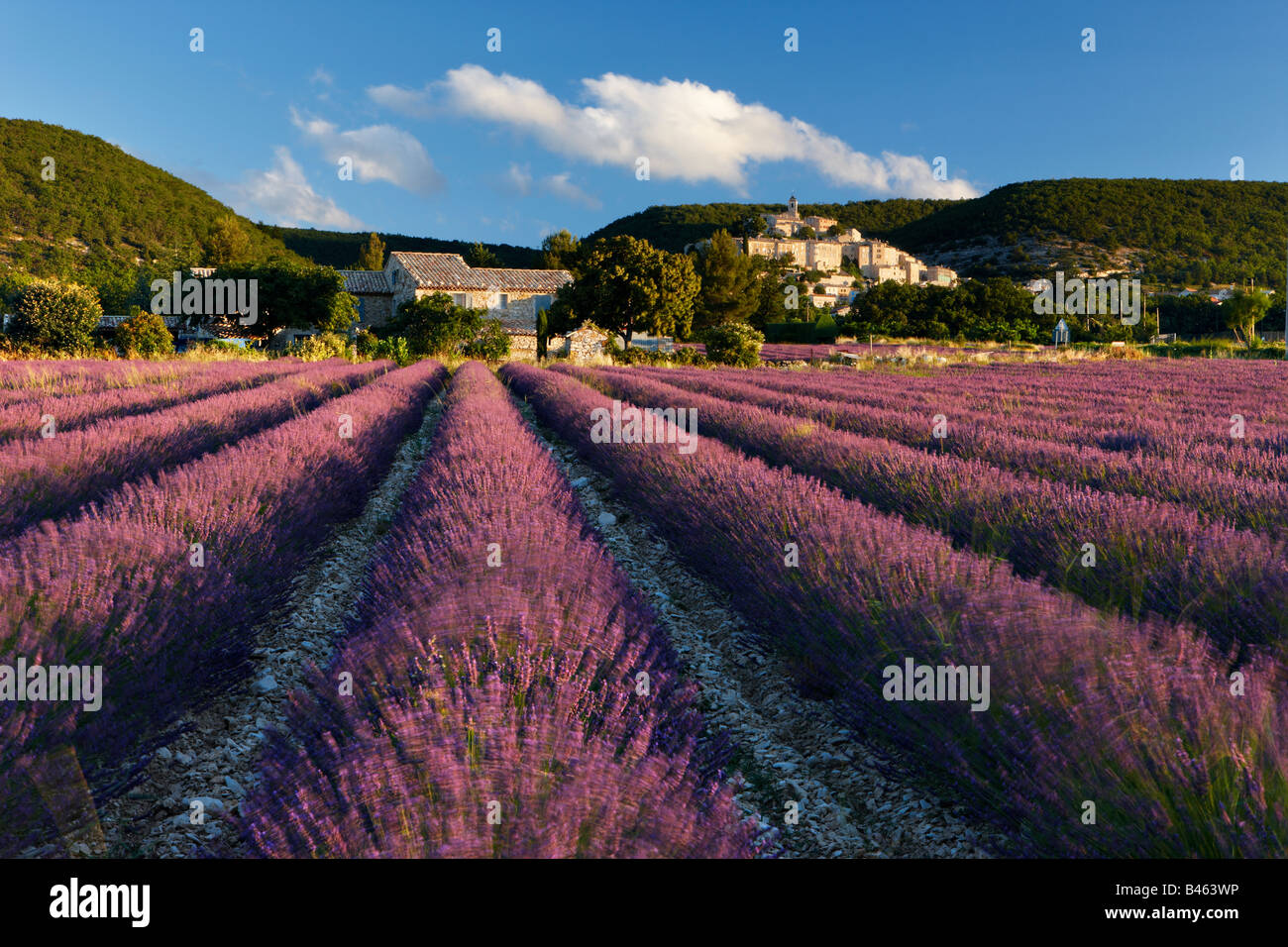 a lavender field with the village of Banon beyond, the Vaucluse, Provence, France - Stock Image