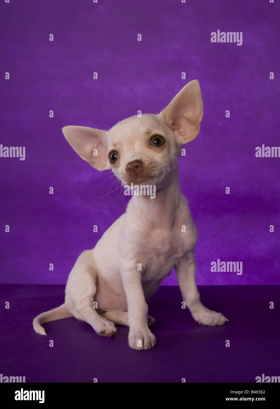 Cute cream color shorthaired Chihuahua puppy sitting on purple background - Stock Image