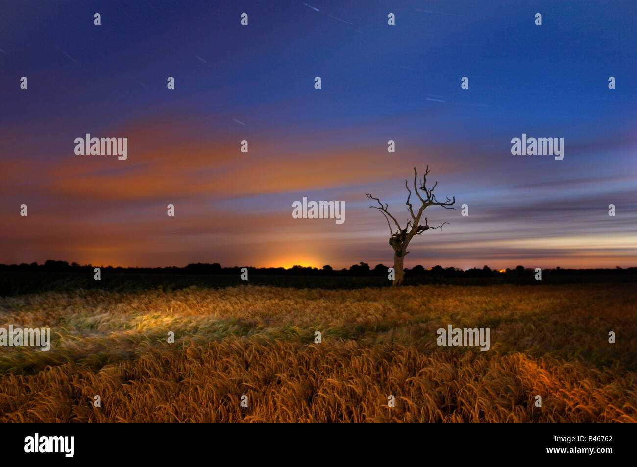Dead tree & Barley Field photographed during a long exposure at night in the Norfolk & illuminated by torch - Stock Image