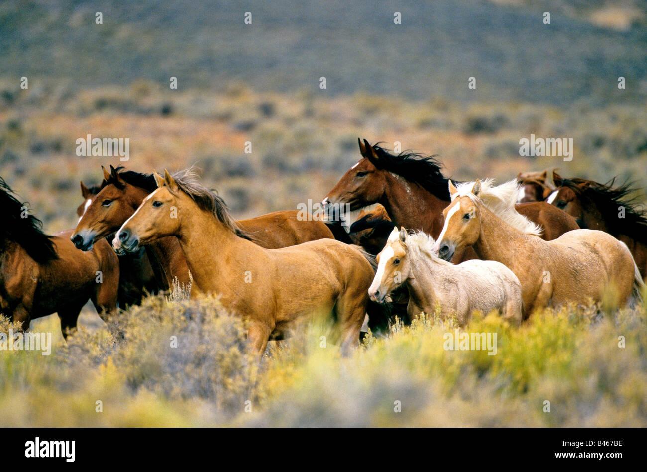 Wild horses running high desert. Stock Photo