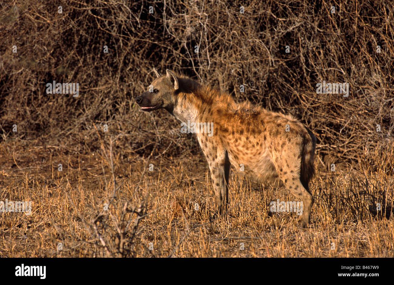 National park Protected area Game park Reserve Spotted hyaena Crocuta crocuta KRUGER PARK SOUTH AFRICA - Stock Image