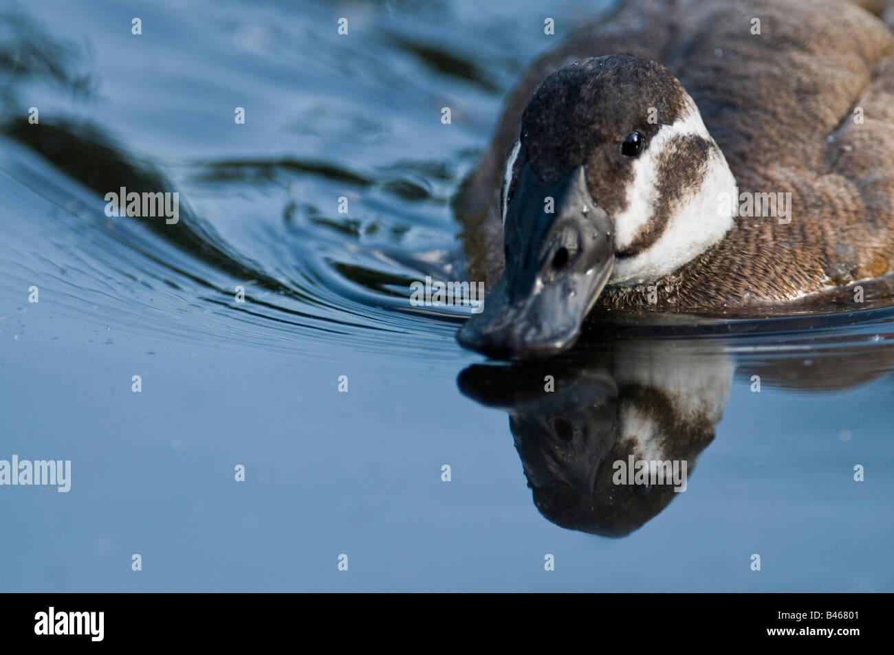 White-headed Duck  Oxyura leucocephala on water. - Stock Image